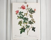 Large Vintage Pierre Redoute Book Plate - Roses