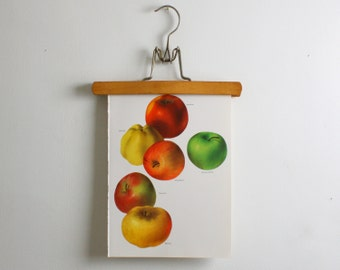 Vintage Print  - Apples - Book Plate  - 1965