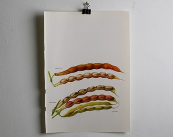 Vintage Print  -  Kidney Bean, Scotch Bean, Cannellino - Book Plate  - 1965