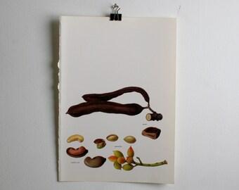 Vintage Print  -  Cashew, Carob, Pistachio - Book Plate  - 1965