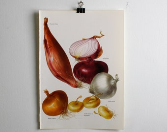 Vintage Print  -  Onions - Book Plate  - 1965 - Gallery Wall - Unframed Bookplate Art - Vegetables