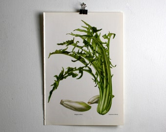 Vintage Print, Chicory, Endive, Book Plate, 1965