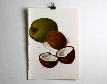 Vintage Print  - Coconut  - Book Plate  - 1965