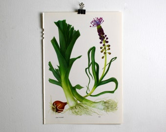 Vintage Print  - Grape Hyacinth, Leek  - Book Plate  - 1965