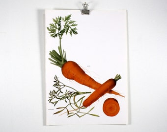 Vintage Print  -  Carrot, Sea Fennel - Book Plate  - 1965