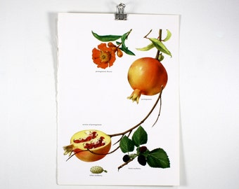 Vintage Print, Pomegranate, Mulberry, Book Plate, 1965
