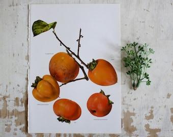 Vintage Print  - Persimmon, Fuji - Book Plate  - Orange Rust 1965 Gallery Wall Unframed Art, Botanical Print, Book Page