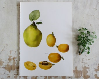 Vintage Print  - Quince, Loquats - Book Plate  - 1965 - Gallery Wall - Unframed Botanical Art - Kitchen Bookplate