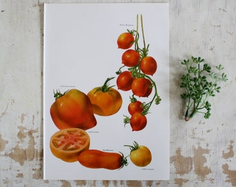 Vintage Print  - Tomatoes - Book Plate  - 1965