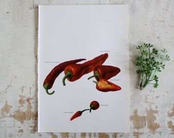 Vintage Print  - Cayene, Long Hots, Cherry, Peppers - Book Plate  - 1965