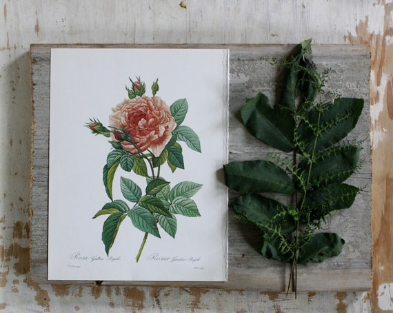 Redoute's Rose   - Vintage Book Plate - 1978
