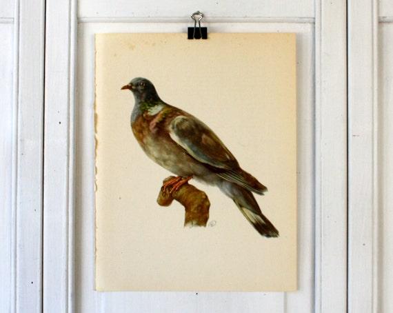 Dove  - Vintage Birds Book Plate - 1970