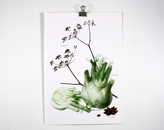 Vintage Print  - Fennel, Star Anise - Book Plate  - 1965