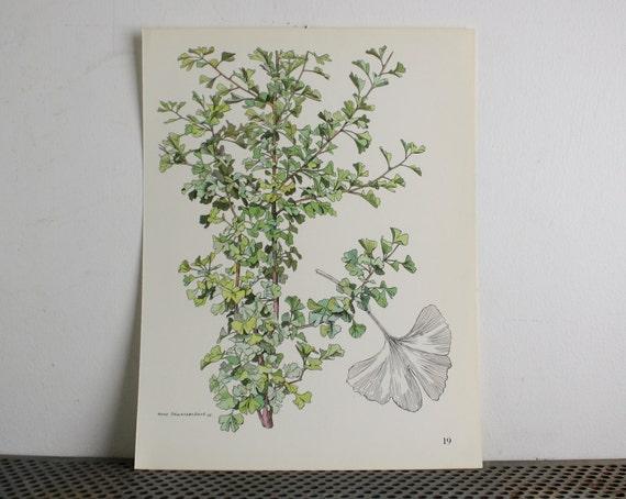 Botanical Print  - Gingko Tree - Shrub and Tree Studies