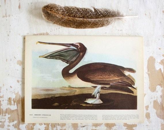 Brown Pelican - Vintage Bird Plate - 1967