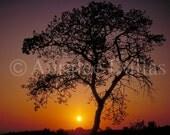 Oak Tree at Sunrise Color Photograph