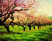 Fine art landscape photography print.  Bright pink orchard spring season tree grove