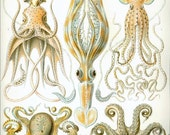 Instant Download Haeckel Gamochonia Octopus Family Yellow Orange Taupe You Print Digital File