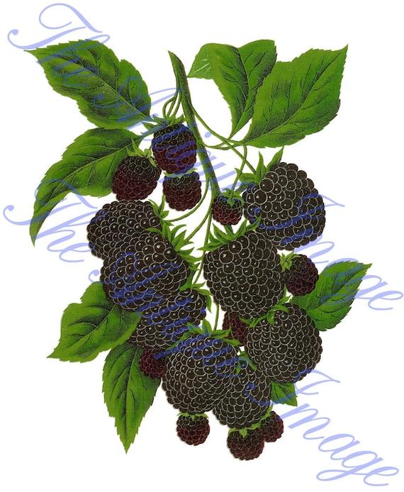 blackberry fruit clipart - photo #24