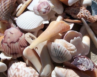 Sea Shells from the Gulf of Mexico, Several Size Options