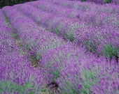 50 Lavender Munstead Perennial Seeds