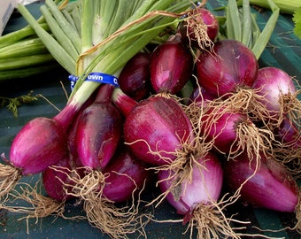 Fine Art Print * RED ONIONS * By Rodriguez * Wall Hanging