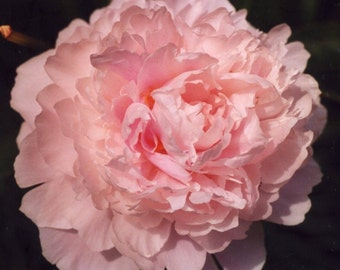 Peonies WOW Natural Flower Essence Remedy. UNSCENTED Vibrational Healing Remedy Made from Energetic Imprint of Peony Flowers