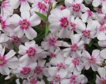 Phlox Flower Essence Natural Remedy for Spiritual Assistance, Guides, Angels, Prayer, Your Heaing & Helping Team
