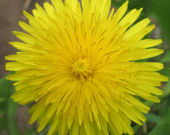 Happy Baby Flower Essence Remedy Totally Safe All Natural for Peace, Healing Birth Trauma & Stress