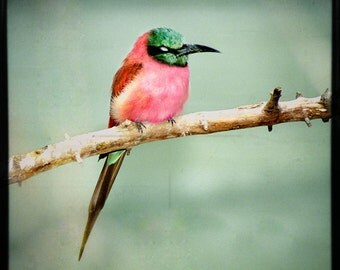 Carmine Bee Eater, Dreamy Square Format Color Photograph of the wonderful African bird perched upon a branch. Free Shipping