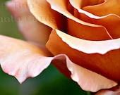 Peach spring rose, photo greetings card