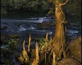Bald Cypress Tree, Hilsborough River State Park, Florida