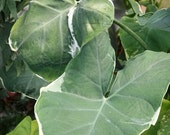 Xanthasoma atrovirens alba marginata 'Monstera' plant