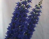 Solenostemon thyrsoides, a heavenly blue, rare, Winter Delphinium