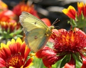 Yellow Butterfly on Orange and Reds, Fine Art Photograph Note Card
