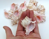 12 BABY PINK MUREX SEA SHELLS
