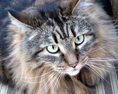 Maine Coon Cat  Isn't she pretty 4x6 photograph