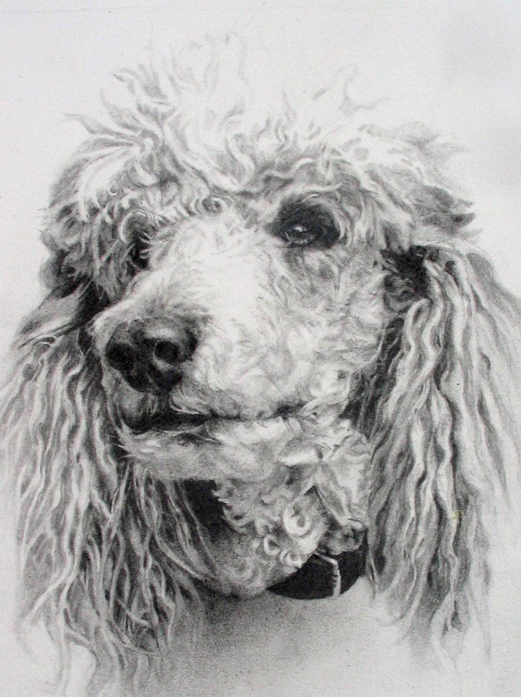 Standard Poodle Drawing Original Puddles