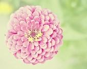 Princess Pink Zinnia - 16x20 Fine Art Flower Photography Print - Feminine Bright Soft Floral Nursery or Bedroom Home Decor Photo