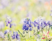 Wild Bluebonnets - 8x10 Fine Art Flower Mothers Day Photography Print - Texas Southern Spring Nature Garden Home Decor Photo