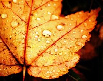 Autumn Pop - 16x20 Maple Leaf and Rain Drops Fine Art Nature Photography Print - Macro Close Up Fall Foliage Home Decor Photo