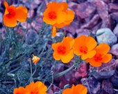 8x10 Photography Print. Orange Desert Poppies - NessysNest