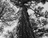 Tallest Tree Ever 5x7