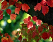 Nature Photography, red leaves, tree branches, Red Autumn, autumn wall decor fine art photography print 8x12
