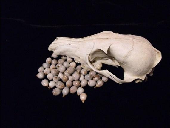 50 Job's Tear Seeds/Beads