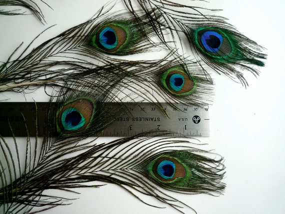 Small PEACOCK EYES FEATHERS Exquisite Quality, smaller eyes  / 522