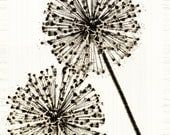 Flower Photograph Sepia Wish Allium Nature Minimalist Decor Garden Fine Art Print Large Vintage Style
