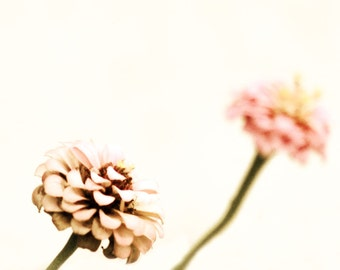 Shabby Chic Pink Flower Photograph A Little Romance Decor Fine Art Floral Dreamy Zinnias Nature