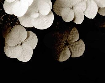 Flower Art Photograph Light In Dark Sepia Black White Hydrangea Nature Wedding Decor Minimalist