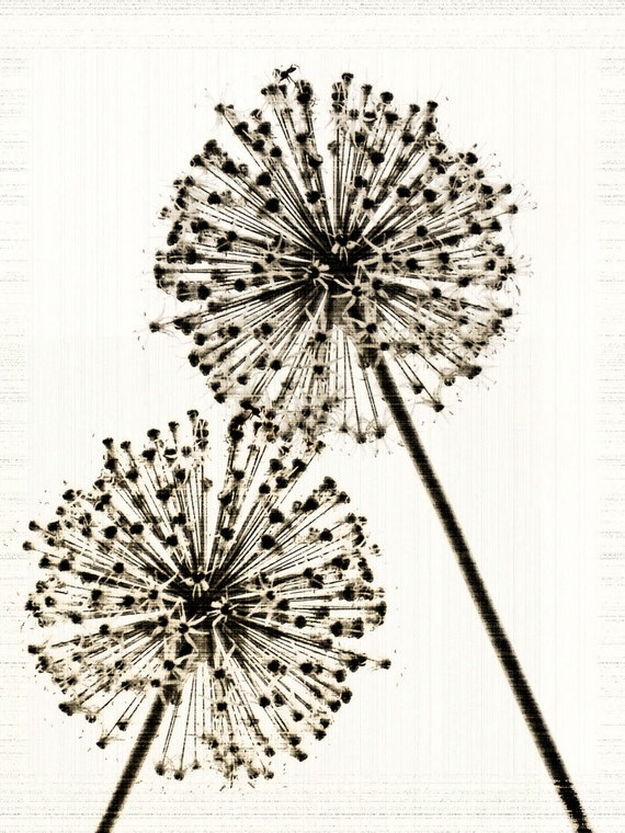 Flower Photograph Sepia Wish Allium Nature Minimalist Decor Garden Fine Art Print Large Vintage Style